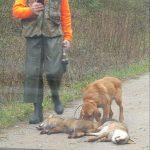 EQUO Galicia denuncia las ilegalidades en torno a la caza del zorro