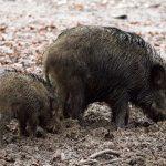 EQUO Galicia y la Red EQUO derechos de los animales contra de la caza de jabalíes con arqueros en Lugo